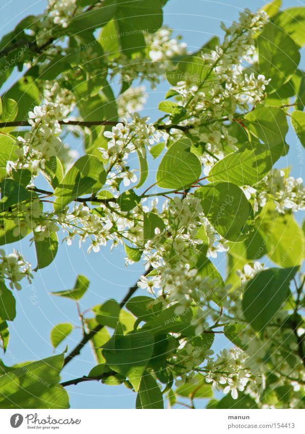 Frühlingsblüten Blüte Blühend weiß hellgrün hell-blau Frühlingsfarbe Natur schön Schönes Wetter Wärme luftig Blatt Himmel