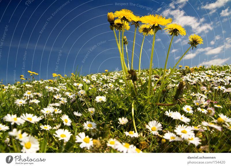 für alle Winterhasser Frühling Sommer Himmel Gänseblümchen Löwenzahn Wiese blau gelb Makroaufnahme Nahaufnahme Wärme