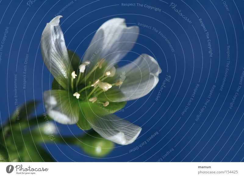 Venus-Winter Blüte Blühend weiß blau Natur schön Frühling kalt Farbe Venusfliegenfalle Winterblüher