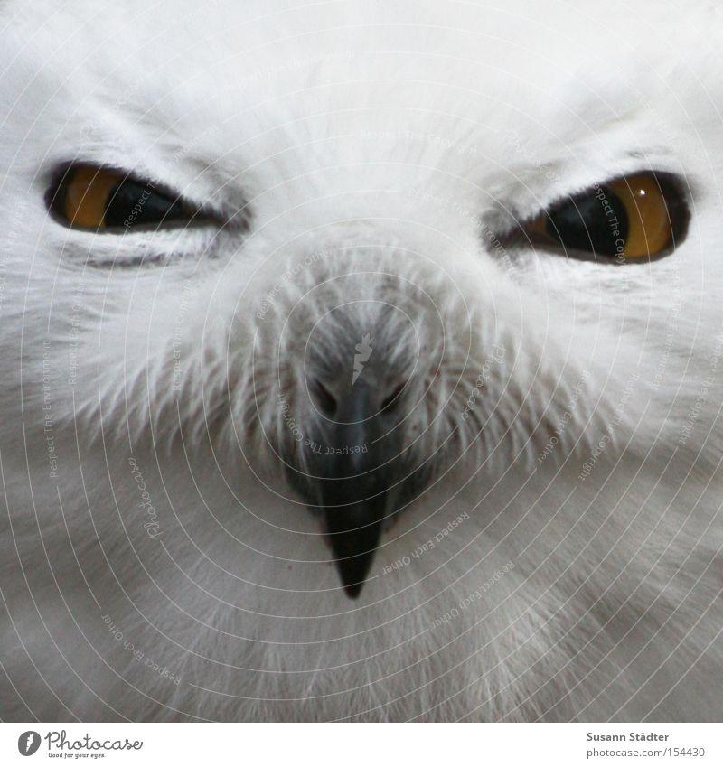Schneeeulengesicht III weiß Winter schwarz Auge gelb kalt Schnee Vogel Feder Fell Zoo Fleck Schnabel Tier Eulenvögel Greifvogel