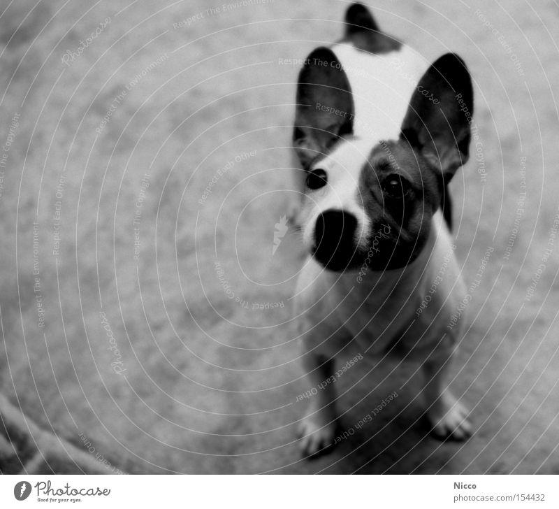 Ich hör alles! Hund Chihuahua Desert Mischling Dogge hören Breitbeinig Teppich Pfote Schwarzweißfoto Säugetier Konzentration Kampfratte Ohr Schnautze schön Nase