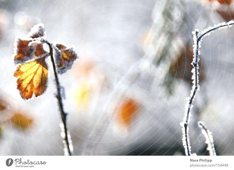 Im Winter Raureif Frost Blatt Gegenlicht glänzend kalt Zweig Eis Schnee