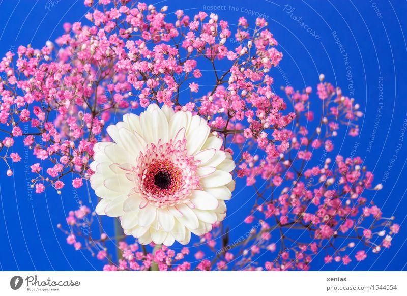 weiß-rosa Gerbera mit Schleierkraut vor blauem Hintergrund Muttertag Geburtstag Blume Sträucher Blüte Rosenschleier Gypsophila Korbblütler schwarz Gipskraut