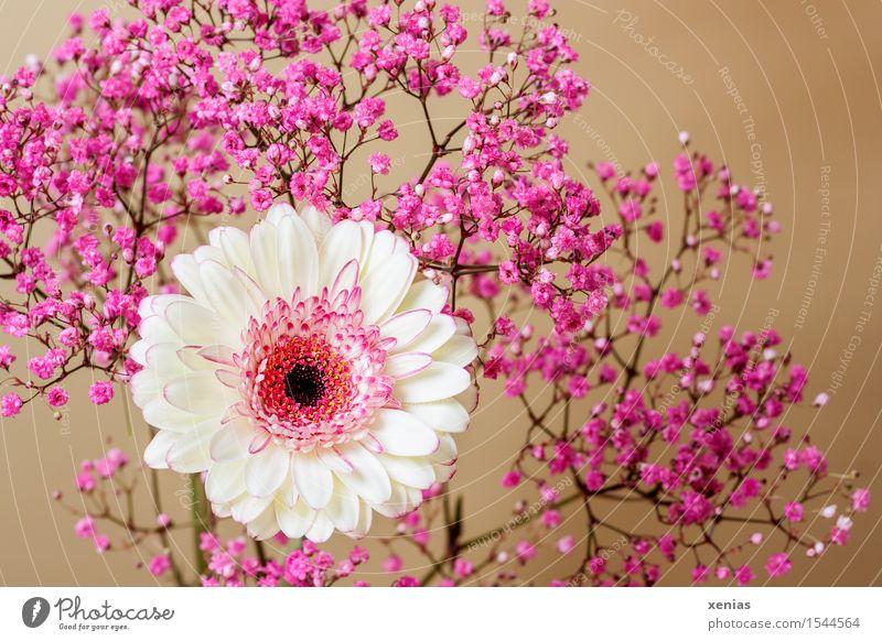 Gerbera mit Rosenschleier vor Gold weiß Blume schwarz Blüte braun rosa gold Schleierkraut cremegelb