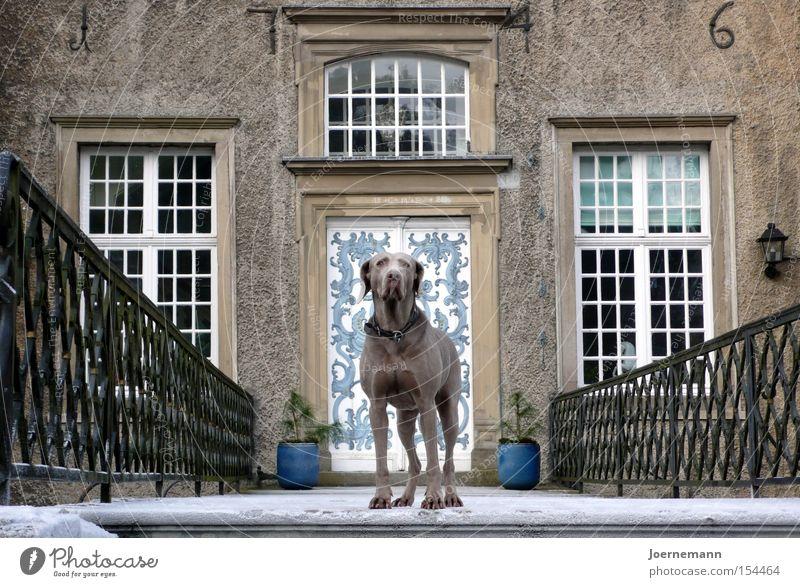 Schlosshund Hund Sicherheit Burg oder Schloss Denkmal Wahrzeichen Säugetier ernst Eingang Portal Weimaraner Adel Würde Haushund Schlossherr Schloßtor