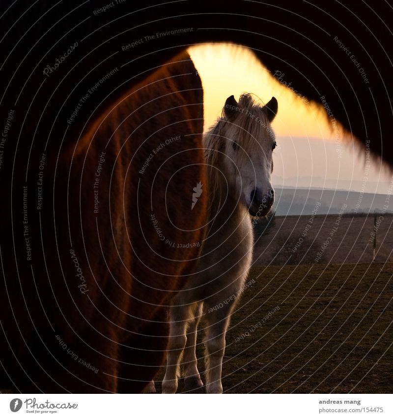 Hallo Wiese Pferd Neugier verstecken Weide Säugetier Interesse Schüchternheit