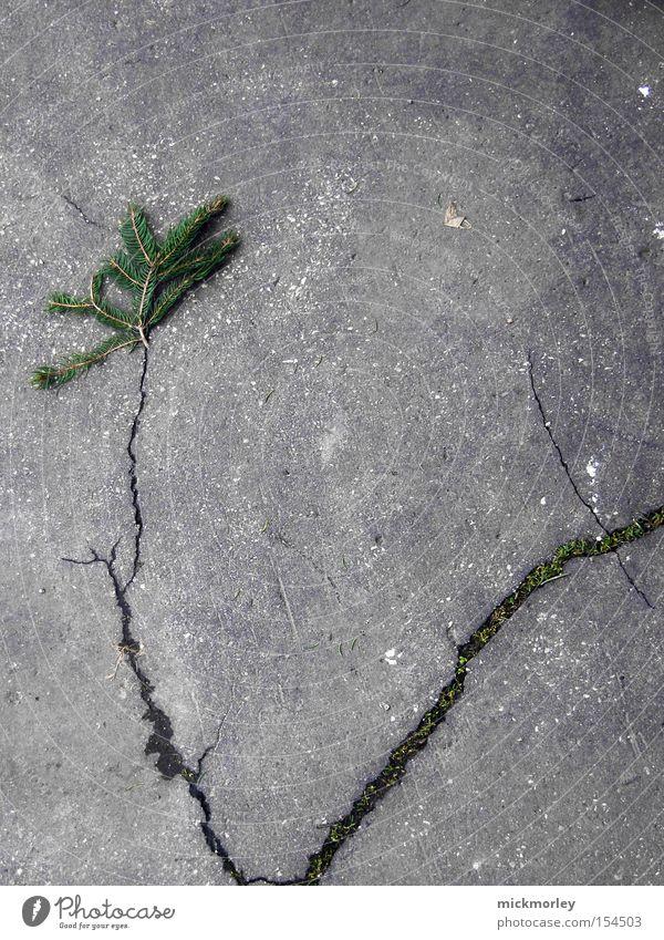 tannenbaum Baum Straße grau Wachstum Ast Tanne Verkehrswege Riss Natur Nadelbaum Tannennadel verzweigt Erdbeben