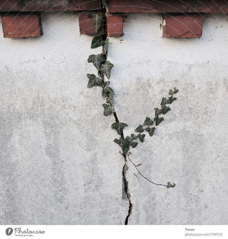 Das Prinzip Natur alt Mauer Kraft Hoffnung verfallen Backstein verbinden Efeu Durchbruch unentschlossen Kletterpflanzen Symbiose