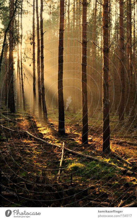 Lichtschneise Wald Winter Wintermorgen Sonne Baum Kiefer Unterholz Gegenlicht Ast gold Schneise Waldlichtung Moos Himmelskörper & Weltall