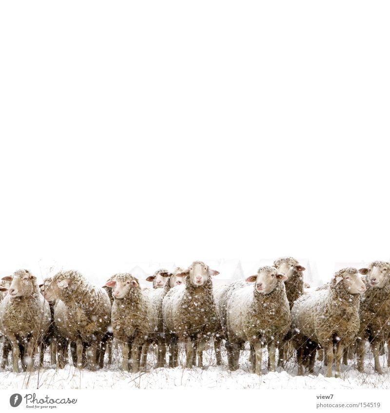 Das gemeine Winterschaf. weiß Einsamkeit kalt Umwelt Schnee Zusammensein Kopf Schneefall stehen ästhetisch warten Tiergruppe einfach Haustier