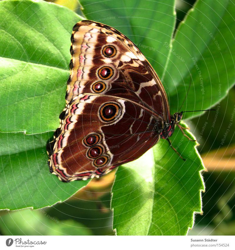 Butterfliege grün schön Sommer Blatt Frühling elegant frisch Flügel Schmetterling Urwald Spinne Tier