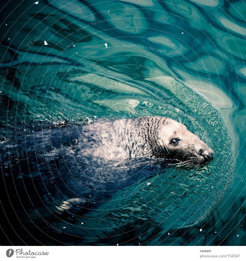 passionierter schwimmer Seehund Meer Robben Wasser Säugetier Tiergesicht Tierporträt Blick in die Kamera Im Wasser treiben