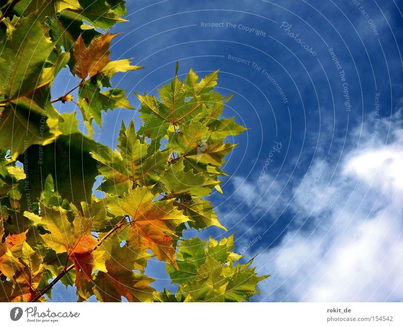 Blätterwald Blatt mehrfarbig färben Herbst Platane Himmel Wolken Indian Summer Blätterdach Rauschen Rascheln Blühend verblüht Park fallen goldener oktober