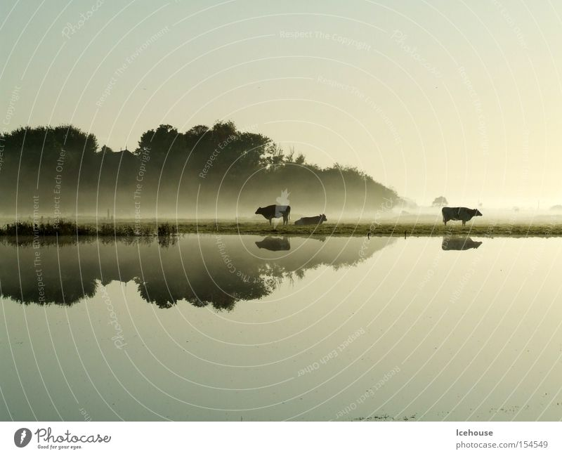 Morgenstimmung Wasser ruhig Herbst See Regen Nebel Kuh Windstille Überschwemmung