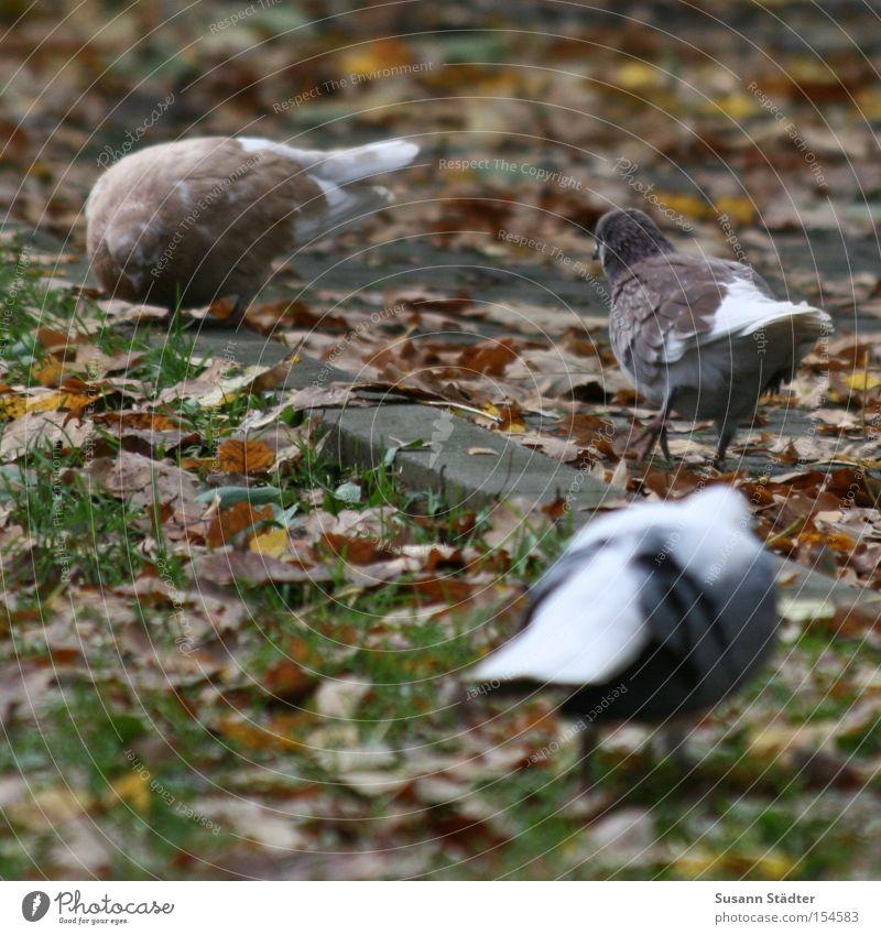 Putt Putt Putt Putt.... Blatt Herbst Wiese Gras Vogel dreckig Ecke Fressen Taube füttern Färbung nerven