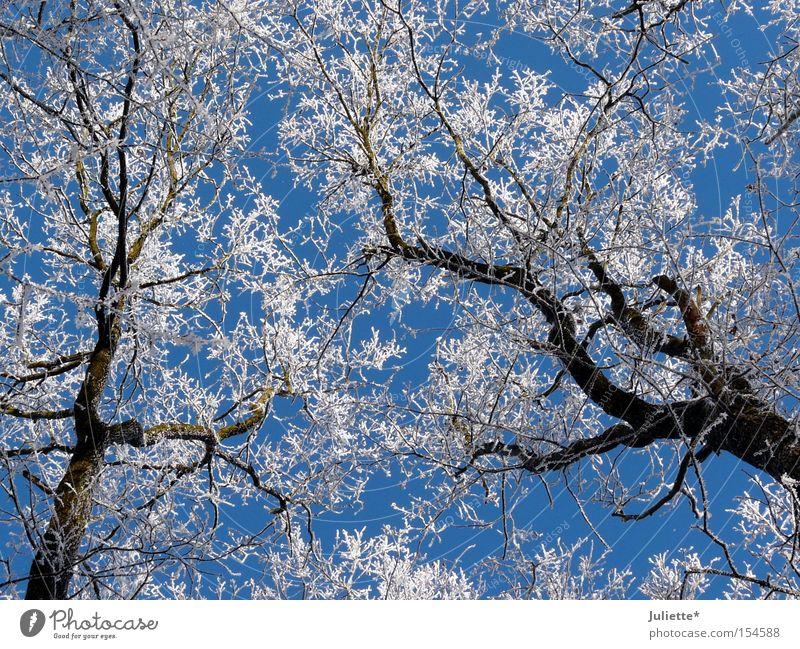 Weiße Kronen schön Himmel weiß Baum blau Winter kalt Schnee Ast Baumkrone Minusgrade aufschauend