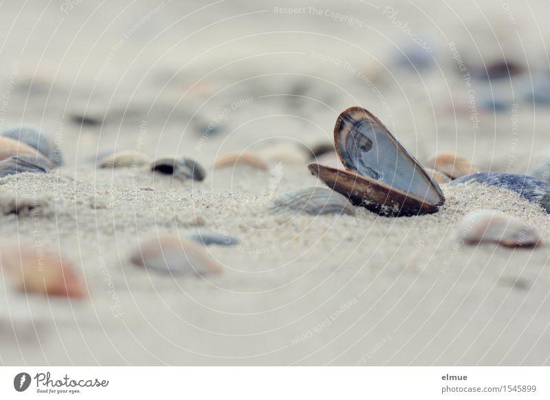 Miesmacher Strand Muschel Muschelschale Muschelsand Miesmuschel Verpackung Sand Perle ästhetisch authentisch schön Glück Romantik Neugier Fernweh Abenteuer