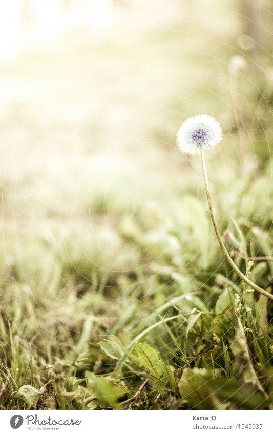 Pusteblume Pflanze Erde Schönes Wetter Blume Wildpflanze Wiese grün Löwenzahn Farbfoto Außenaufnahme Nahaufnahme Textfreiraum links Tag Sonnenlicht Unschärfe