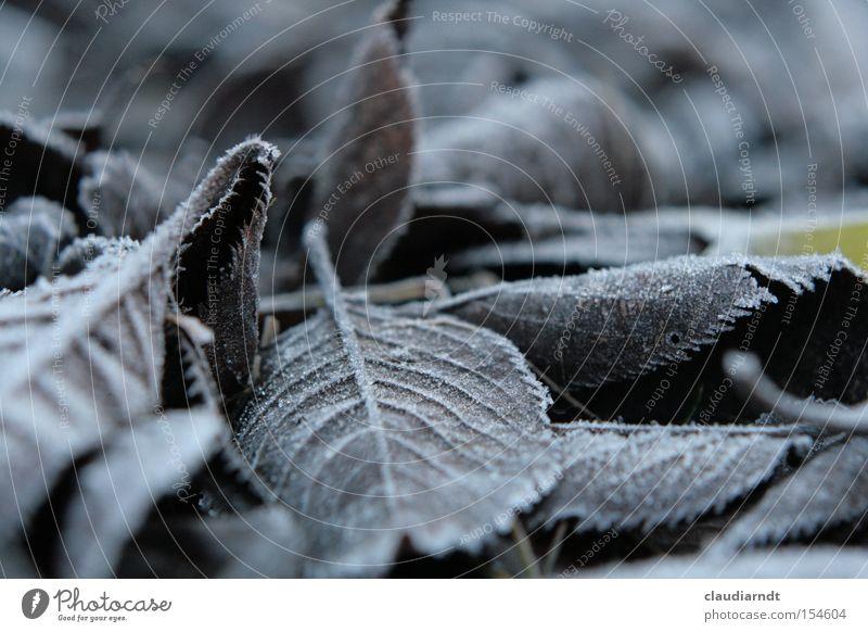 Eislaub kalt Frost Winter Raureif Eiskristall frieren gefroren Blatt grau trist bewegungslos Vergänglichkeit Schnee