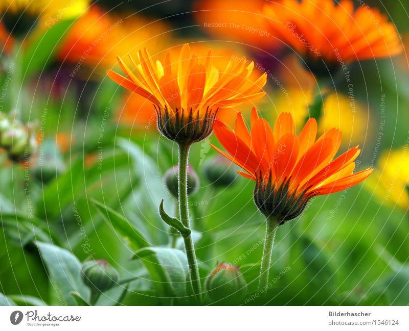 Calendula officinalis Ringelblume Sommerblumen Blume Blüte orange Heilpflanzen Schrebergarten apothekergarten Medikament Blumenwiese Sommertag entzündet