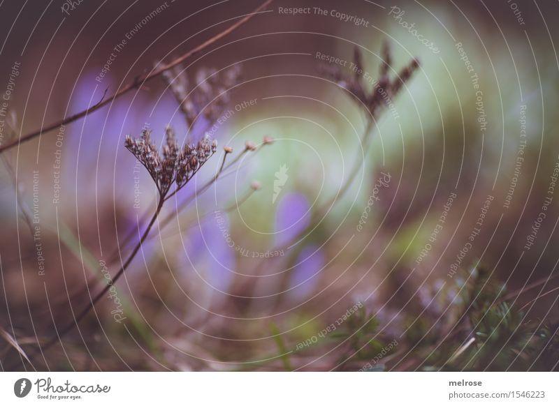 zartes LILA elegant Stil Umwelt Natur Erde Frühling Schönes Wetter Pflanze Gras Sträucher Wildpflanze Zweige u. Äste Krokusstupfer Kleinpflanzen Park