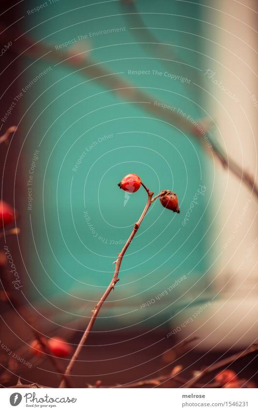 Farbharmonie Hagebutten Beeren Stil Design Schönes Wetter Pflanze Sträucher Blüte Wildpflanze Rosengewächse Blütenpflanze Zweige u. Äste Park Farbfleck