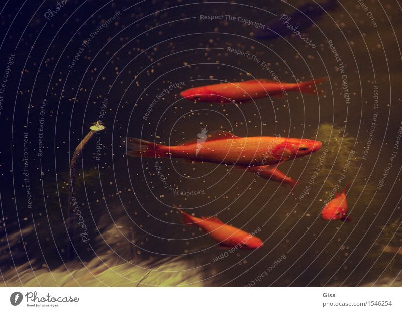 What's up? Tier Haustier Fisch Schuppen Goldfisch Tiergruppe Wasser Schwimmen & Baden dunkel Flüssigkeit Zusammensein nass gold rot Zufriedenheit ruhig Neugier
