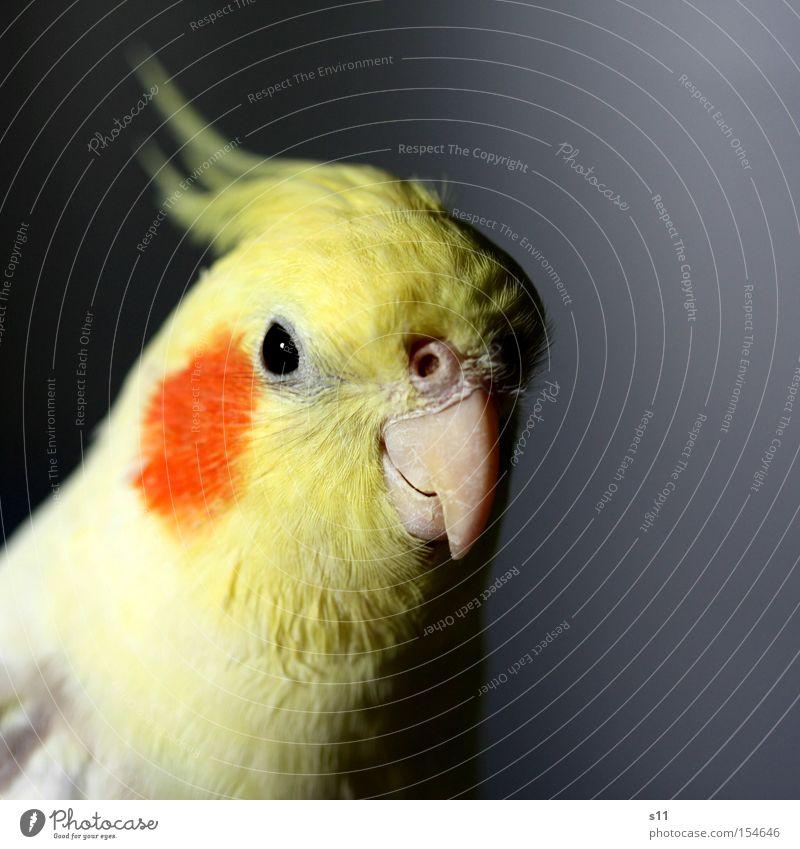 Cockatiel Natur schön Tier gelb Auge fliegen Vogel Feder Schnabel Punk Makroaufnahme