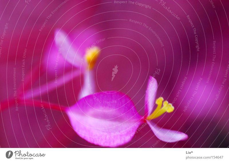pink Blume Blüte Blühend klein nah rosa rot Farbe Blütenblatt intensiv zart verrückt quietschgelb mehrfarbig Nahaufnahme Makroaufnahme Experiment Menschenleer