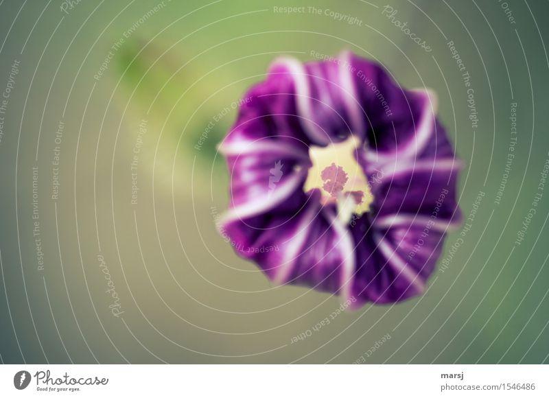 Und am Ende des Tages Pflanze Frühling Sommer Blume Blüte Winde Stempel verblüht authentisch kaputt klein violett Traurigkeit Sorge Trauer Tod Enttäuschung