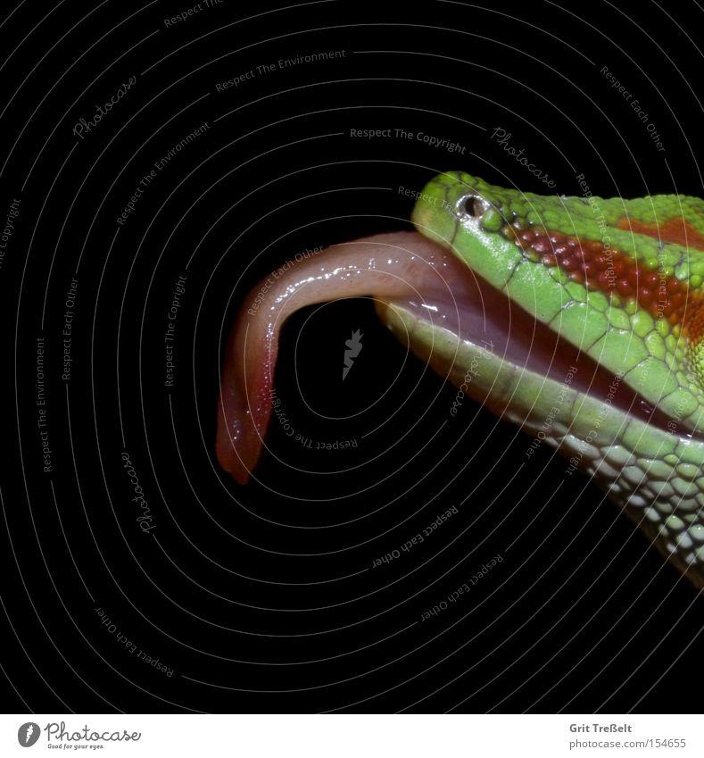 Taggecko grün rot Tier Graffiti Urwald Fensterscheibe Reptil Zunge lutschen Echsen Terrarium Gecko Leguane