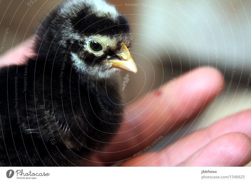 Glücksmomente Hand Tier schwarz Tierjunges klein fliegen Vogel Flügel Ostern Schutz Sicherheit zart Haustier Ei Geborgenheit Schnabel