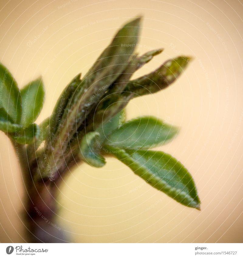 Zarte Knospen Natur Pflanze Winter Blatt Blattknospe braun gelb grün beige Faser Blattadern klein mehrere zart Wachstum Zweig Unschärfe entfalten einrollen