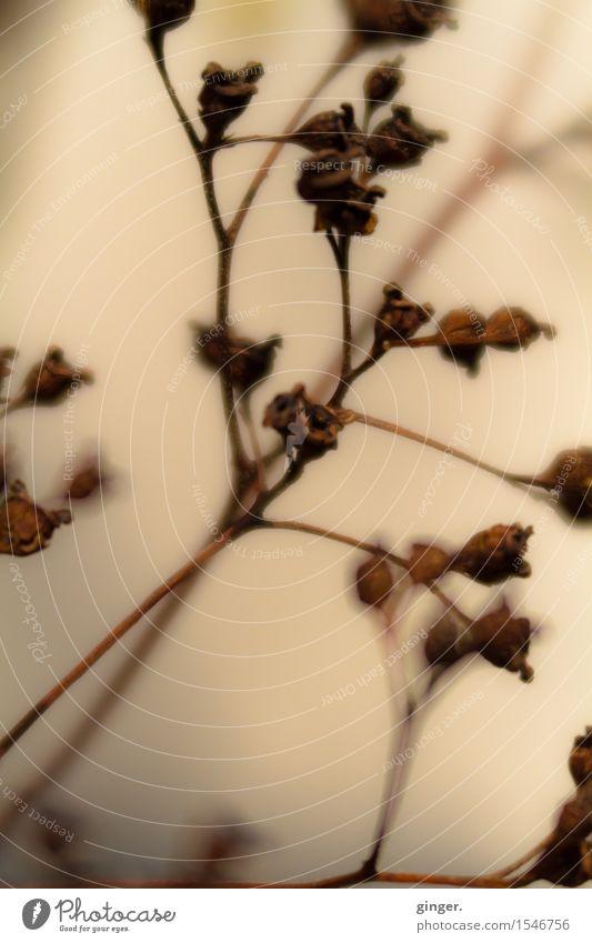 Sehnsucht und Melancholie Natur Pflanze Winter Sträucher braun beige ocker Wand Blütenknospen trocken vertrocknet welk zart verwaschen diffus weich Traurigkeit