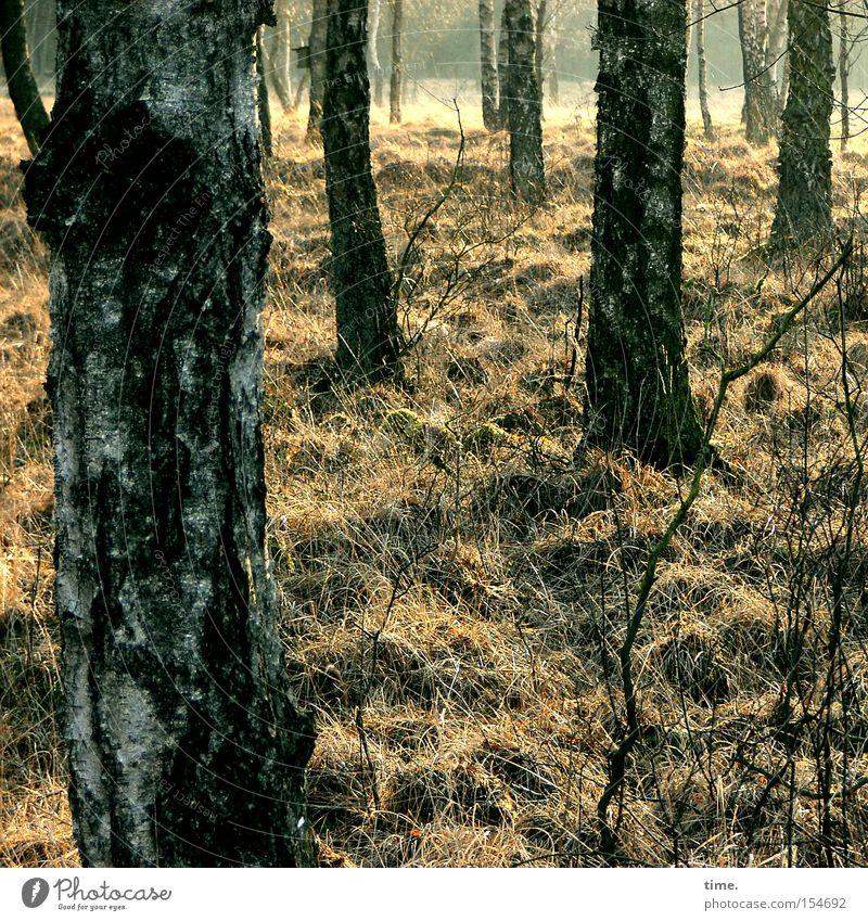 Stille. Licht. Würde. Natur Baum Landschaft ruhig dunkel Wald Umwelt Gras Freundschaft mehrere stehen einzeln Wandel & Veränderung Baumstamm Zusammenhalt