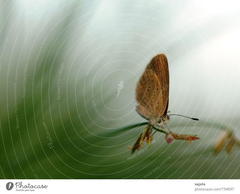 kleiner falter ganz gross grün Gras braun Flügel Punkt Schmetterling Halm Fühler Makroaufnahme Bläulinge
