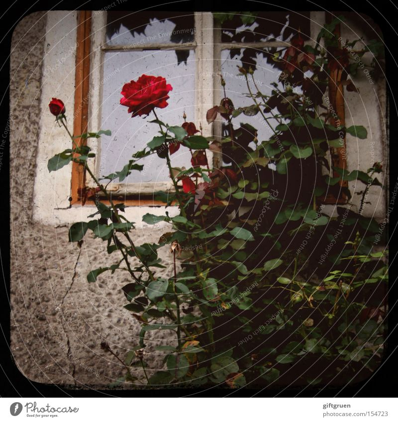 a rose by any other name would smell as sweet Rose Fenster Duft Blume Fassade Haus Symbole & Metaphern Pflanze rot alt Detailaufnahme Romeo und Julia ttv