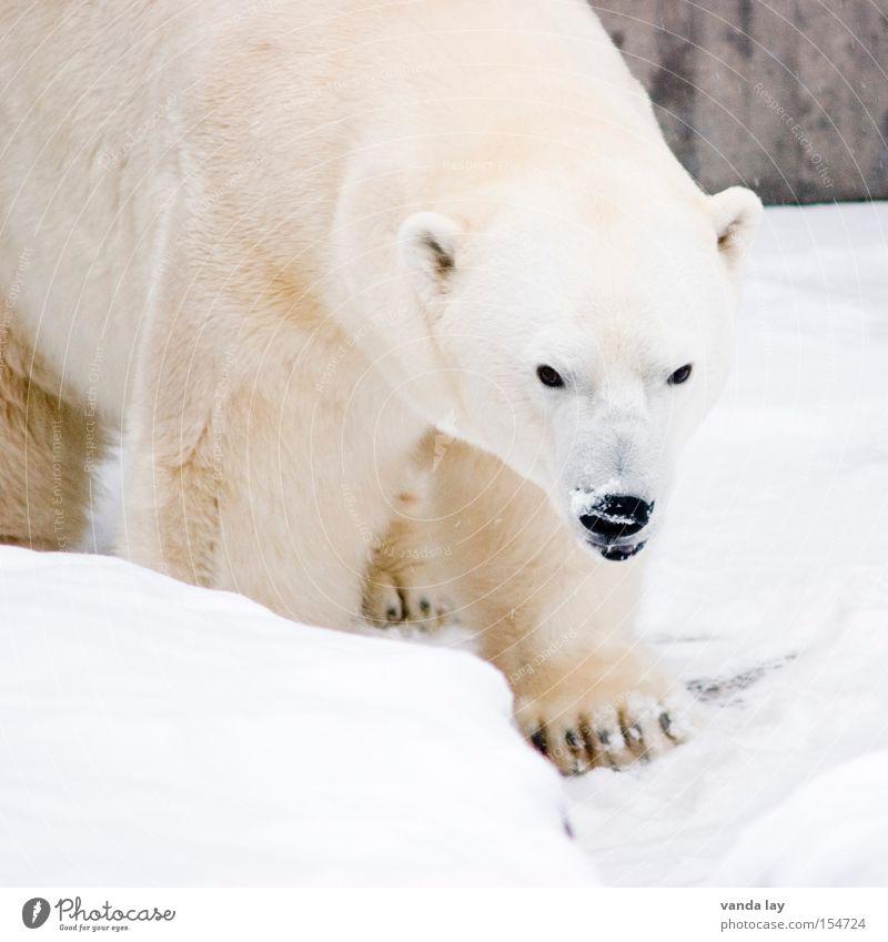 knutflockewilbär weiß Winter Tier kalt Schnee Eis laufen Abenteuer gefährlich Frost Tiergesicht bedrohlich Klima Fell Zoo Wildtier