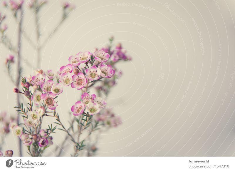 Wachsblumen IV Pflanze Blühend Menschenleer Detailaufnahme Innenaufnahme Blume Duft Blüte rosa violett zart Blumenstrauß Frühling Geschenk Liebe Valentinstag