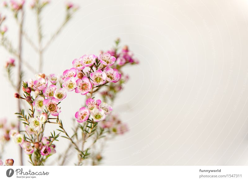 Wachsblumen V Pflanze Blühend Zufriedenheit Dekoration & Verzierung Muttertag Valentinstag Liebe Geschenk Frühling Blumenstrauß zart violett rosa Blüte Duft