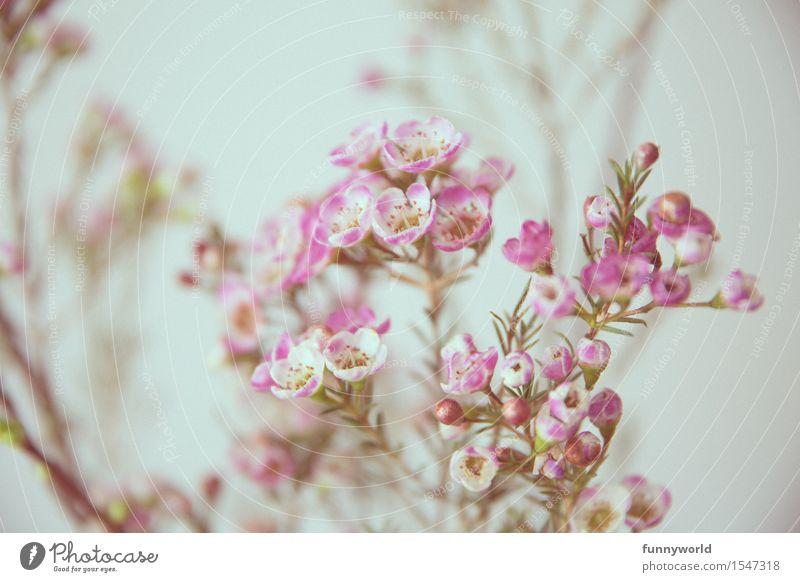 Wachsblumen Pflanze Blume Blüte Duft rosa violett zart Blumenstrauß Frühling Geschenk Liebe Valentinstag Muttertag Dekoration & Verzierung Farbfoto