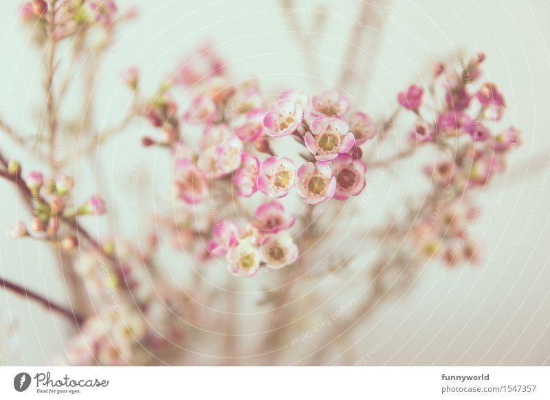 Zarte Wachsblumen Frühling Porzellanblume Zierpflanze Pflanze Blüte Innenaufnahme Ostern Farbfoto Blume Natur Blühend Blumenstrauß rosa weiß