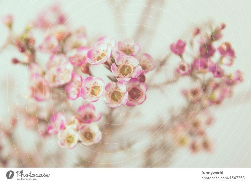 Wachsblumen II Pflanze Zufriedenheit Schwache Tiefenschärfe Innenaufnahme Farbfoto Dekoration & Verzierung Muttertag Valentinstag Liebe Geschenk Frühling