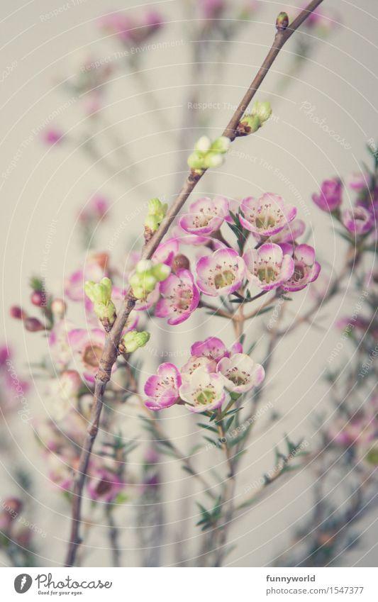 Wachsblumen III Pflanze Duft Menschenleer Detailaufnahme Blume Blüte rosa violett zart Blumenstrauß Frühling Geschenk Liebe Valentinstag Muttertag