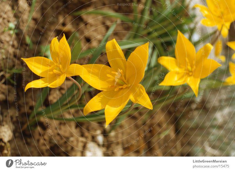wilde tulpen Sonne Blume gelb Garten Stern (Symbol) Bodenbelag Wildtier Tulpe