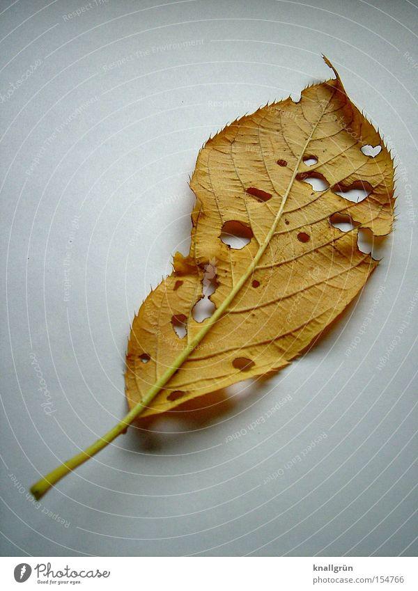 Das war's... Natur weiß Pflanze Blatt Herbst braun Vergänglichkeit Verfall Loch Lebenslauf