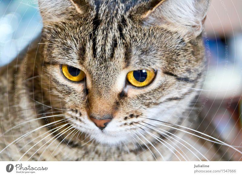 Katzenporträt mit gelben Augen Tier Oberlippenbart Haustier Streifen grau Säugetier Backenbart Koteletten Farbfoto