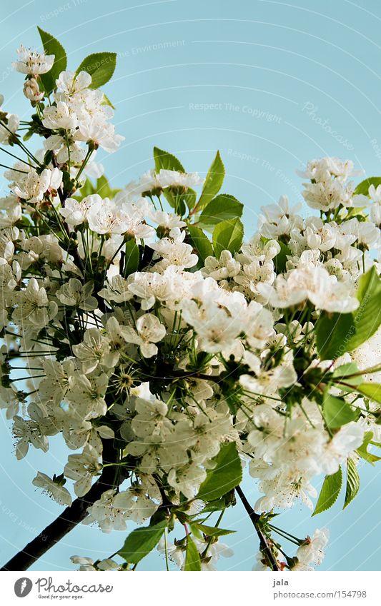 blütenpracht Himmel weiß Baum grün blau Sommer Blüte Frühling Park Wärme Klarheit Ast Kirschblüten Apfelblüte