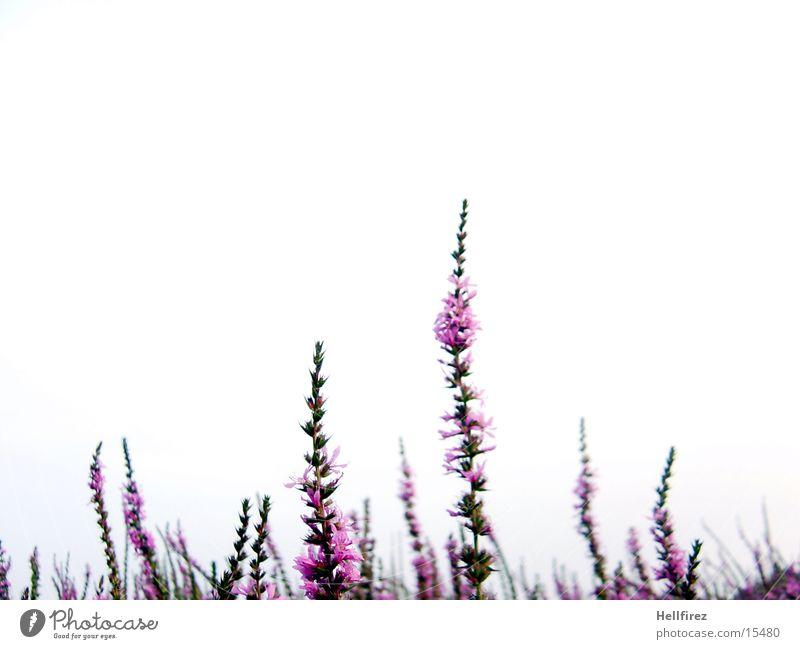 Blütenpracht [6] Himmel weiß grün Pflanze rosa violett Halm chaotisch durcheinander