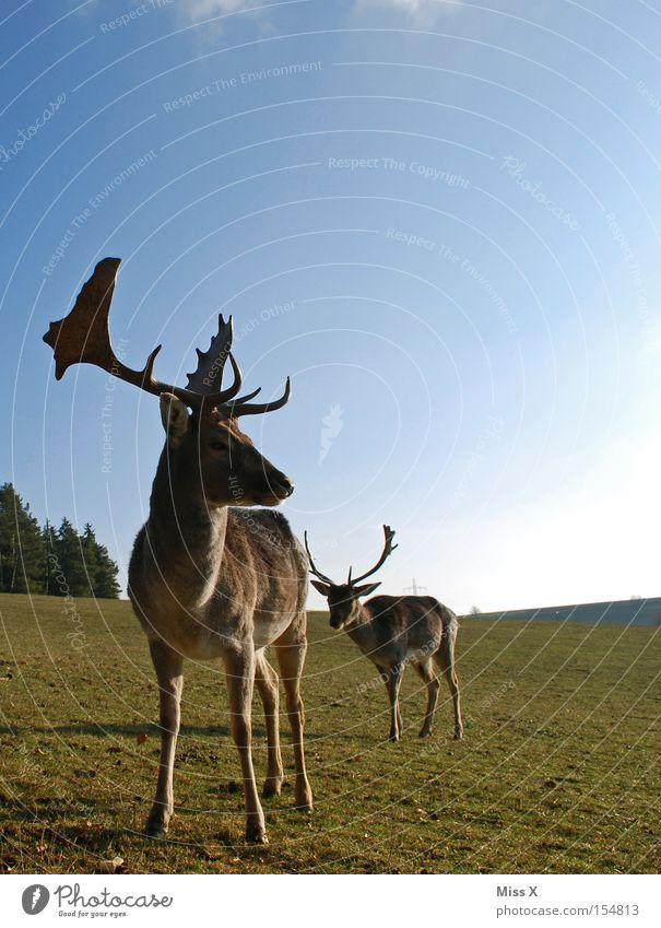 *Muuuh Farbfoto Außenaufnahme Winter Tier Wiese Wildtier grün Hirsche Reh Rentier Horn Gehege Wildpark Säugetier Rudi Tag